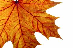 Autumn maple leave. On a white background Stock Images