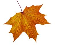 Autumn maple leave Stock Photography