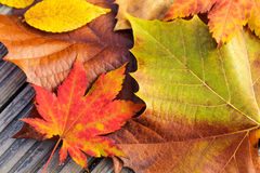 Autumn maple leave Royalty Free Stock Images
