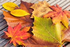 Autumn maple leave Stock Photography