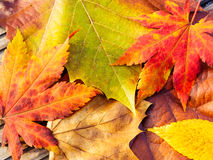 Autumn maple leave Royalty Free Stock Photos