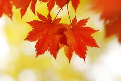 Autumn maple leaves. In sunlight Stock Images