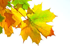 Autumn maple leaves. Colorful autumn maple leaves over white background Stock Photo