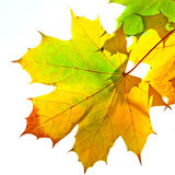 Autumn maple leaves. Colorful autumn maple leaves over white background Royalty Free Stock Photos