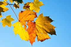 Autumn maple leaves. Yellow autumn maple leaves over blue background Royalty Free Stock Image