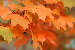 Autumn maple leaves Stock Photos