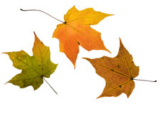 Autumn Maple leaves. Three Autumn Maple leaves isolated on white with clipping path Royalty Free Stock Photo