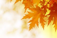 Autumn maple leaves. On blurred background Stock Photo