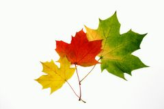 Autumn maple leaves. Autumn maple multicolor leaves isolated on white background Stock Photos