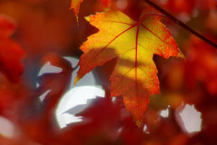 Autumn maple leaves. A sunlit maple leaf on a beautiful red background of autumn leaves Royalty Free Stock Photos