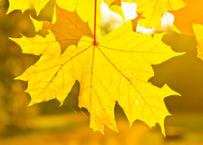 Autumn maple leaves. Yellow autumn maple leaves in sunlight Royalty Free Stock Image