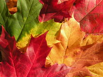 Autumn maple leaves. Colorful autumn maple leaves abstract suitable as background Royalty Free Stock Image