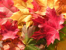Autumn maple leaves. Colorful autumn maple leaves abstract suitable as background stock image