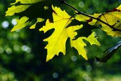 Autumn, maple leaves Royalty Free Stock Photos