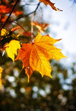 Autumn maple leaves. Yellow autumn maple leaves branch Stock Photography