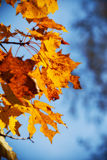 Autumn maple leaves. Yellow autumn maple leaves branch Stock Photos