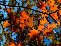Autumn maple leaves. Background of autumn fall maple leaves and blue sky through branches Stock Photo