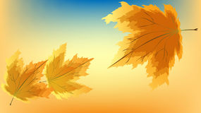 Autumn maple leaves. Falling maple leaves in gold and orange Stock Photography