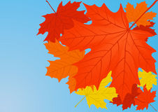 Autumn maple leaves. Stock Photography