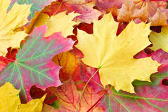 Autumn maple leaves. Red and yellow autumn maple leaves Royalty Free Stock Photo