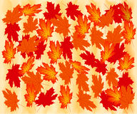 Autumn maple leaves. Stock Image