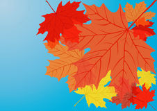 Autumn maple leaves. Stock Photos