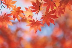 Autumn maple leaves Royalty Free Stock Photography