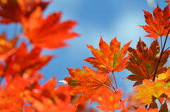 Autumn, maple leaves Stock Photos