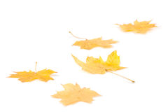 Autumn maple leaves Stock Photography