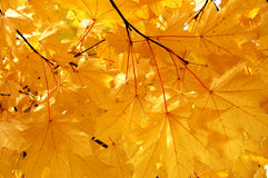 Autumn maple leaves. Background with a yellow maple leaves stock images
