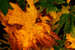 Autumn Maple Leaves. Grouping of large yellow and green maple leaves changing into autumn colors Royalty Free Stock Image