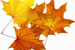 Autumn maple leaves. On a white background royalty free stock images