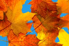 Autumn maple leaves. On a blue background Royalty Free Stock Images