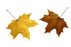 Autumn maple leaves. On a white background Royalty Free Stock Photo