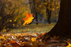 Free Autumn Maple Leaves Stock Photography - 45815382