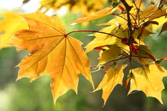 Autumn maple leaves. Orange autumn maple leaves for background Royalty Free Stock Images