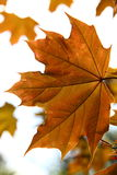 Autumn maple leaves. Orange autumn maple leaves for background Stock Photo