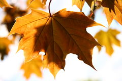 Autumn maple leaves. Orange autumn maple leaves for background Stock Images