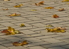 Autumn maple leaves. On a roadway stone blocks Stock Photography