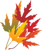 Autumn maple leaves. In different colors Stock Photo