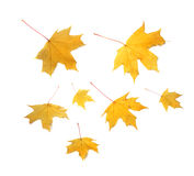 Autumn maple leaves. Beautiful yellow autumn maple leaves Stock Photography