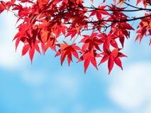 Autumn maple leaves against blue sky Royalty Free Stock Photos