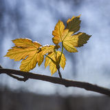 Autumn maple leaves against the blue sky Stock Image