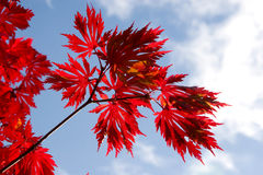 Autumn maple leaves against the sky Royalty Free Stock Photos