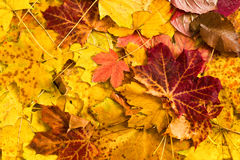 Autumn maple leaves as background Stock Photos