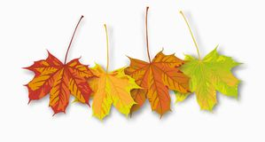 4 Autumn Maple Leaves. Autumn maple leaves on the white Royalty Free Stock Image