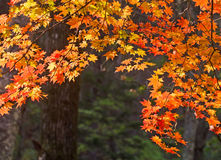 Autumn, maple leaves, autumnal foliage Stock Photos