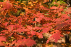 Leaves. Autumn maple leaves background Stock Image