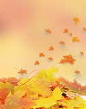 The autumn maple leaves a background Stock Images