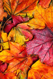 Autumn maple leaves background. Beautiful colourful maple leav Stock Images